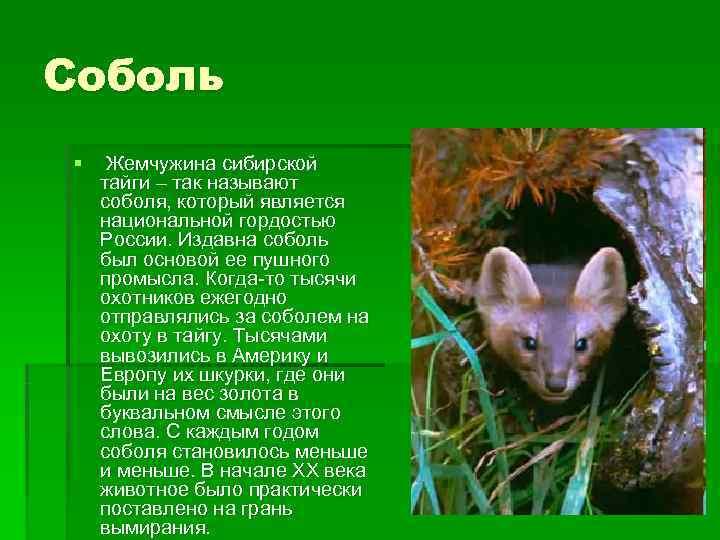 Соболь §  Жемчужина сибирской тайги – так называют соболя, который является национальной гордостью