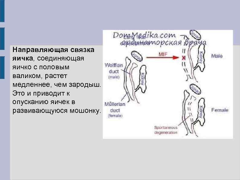 Направляющая связка яичка, соединяющая яичко с половым валиком, растет медленнее, чем зародыш. Это и