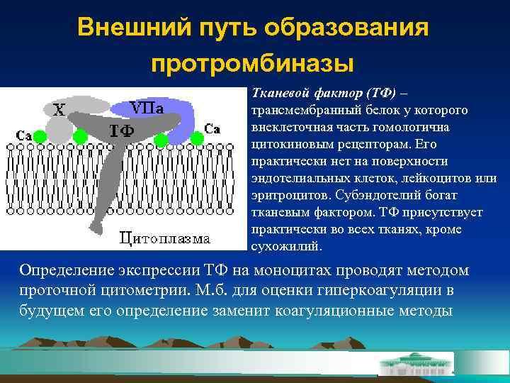 Внешний путь образования  протромбиназы     Тканевой фактор (ТФ)