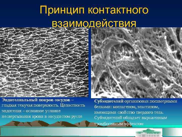 Принцип контактного     взаимодействия Эндотелиальный покров сосудов –