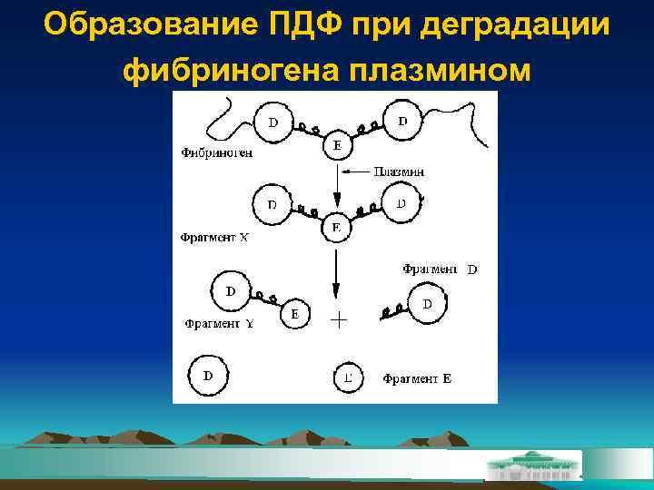Образование ПДФ при деградации фибриногена плазмином