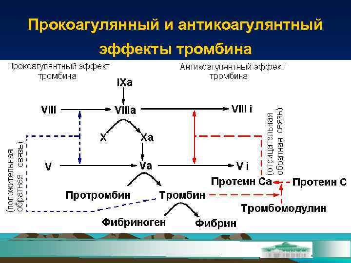 Прокоагулянный и антикоагулянтный  эффекты тромбина