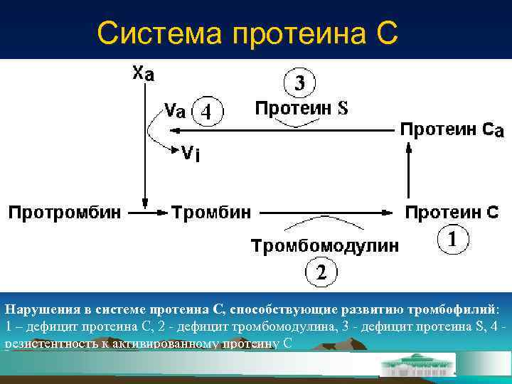 Система протеина С Нарушения в системе протеина С, способствующие развитию тромбофилий: