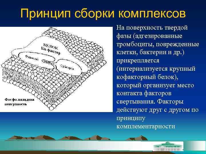 Принцип сборки комплексов    На поверхность твердой    фазы (адгезированные
