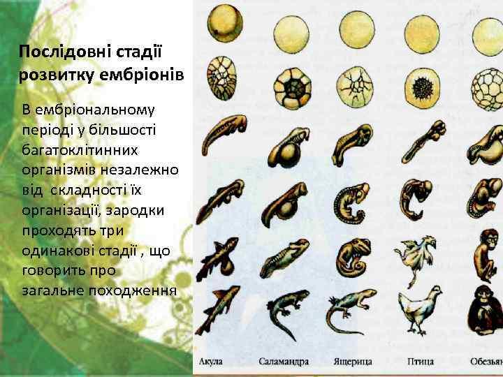Послідовні стадії розвитку ембріонів В ембріональному періоді у більшості багатоклітинних організмів незалежно від складності