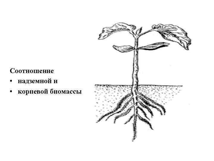 Соотношение • надземной и • корневой биомассы