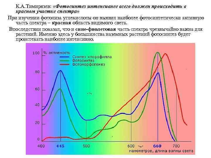 К. А. Тимирязев:  «Фотосинтез интенсивнее всего должен происходить в  красном