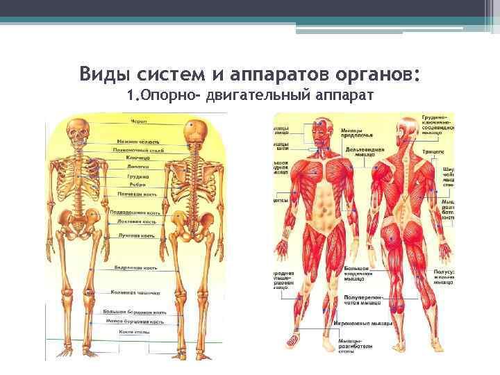 Виды систем и аппаратов органов: 1. Опорно- двигательный аппарат