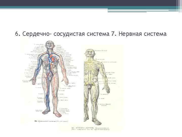 6. Сердечно- сосудистая система 7. Нервная система