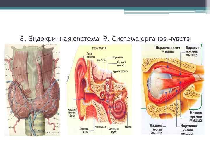 8. Эндокринная система 9. Система органов чувств