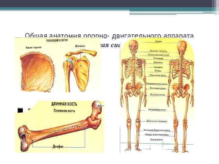 Общая анатомия опорно- двигательного аппарата    Костная система