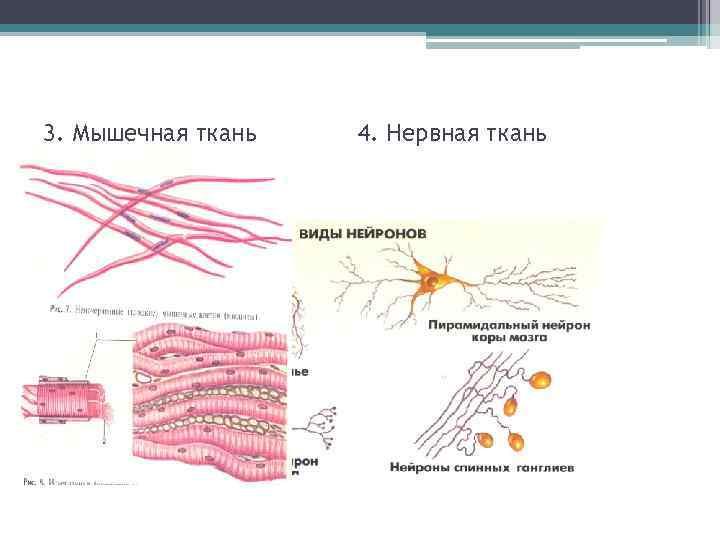 3. Мышечная ткань  4. Нервная ткань