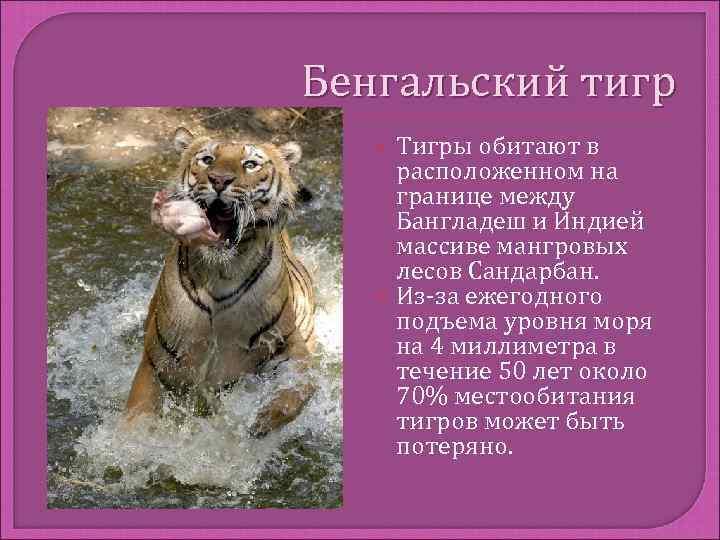 Бенгальский тигр Тигры обитают в расположенном на границе между Бангладеш и Индией массиве мангровых