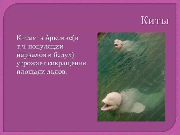 Киты  Китам в Арктике(в т. ч. популяции нарвалов и