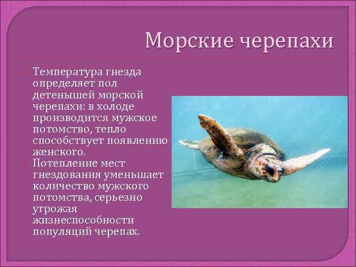 Морские черепахи Температура гнезда определяет пол детенышей морской черепахи: