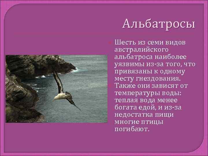 Альбатросы  Шесть из семи видов  австралийского  альбатроса наиболее