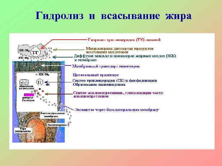 Гидролиз и всасывание жира