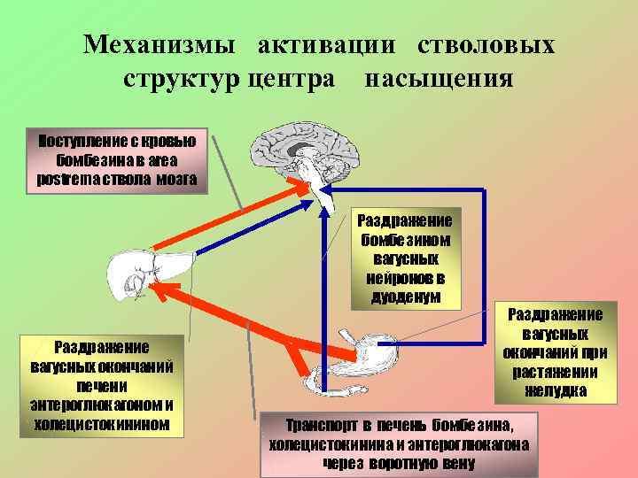 Механизмы активации стволовых   структур центра насыщения Поступление с кровью  бомбезина