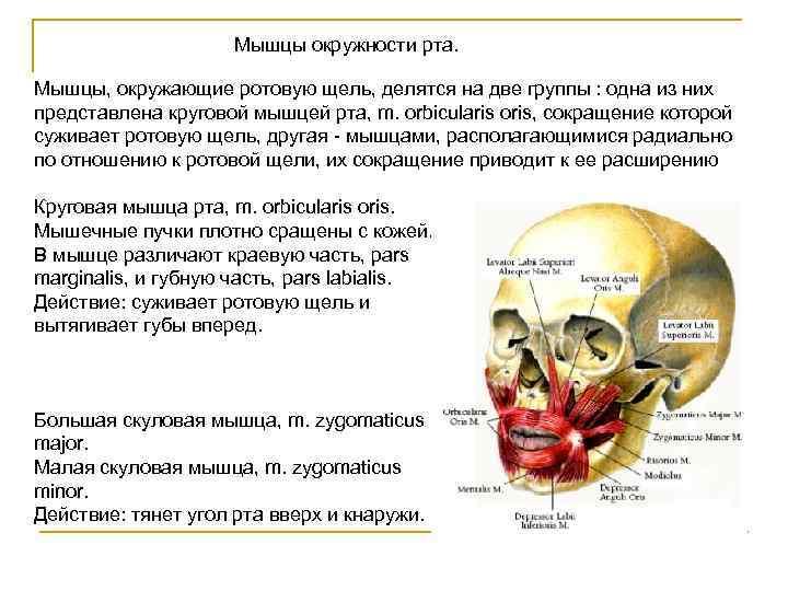 Мышцы окружности рта.  Мышцы, окружающие ротовую щель, делятся