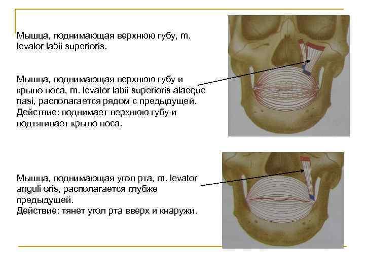 Мышца, поднимающая верхнюю губу, m. levalor labii superioris.  Мышца, поднимающая верхнюю губу и