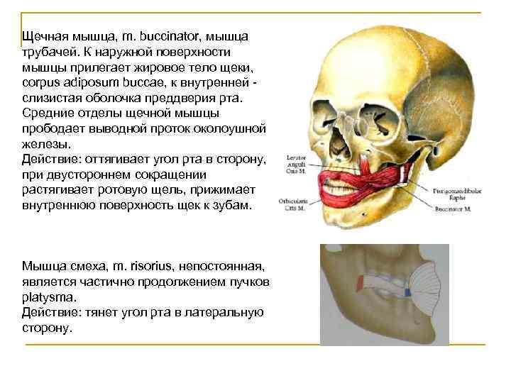 Щечная мышца, m. buccinator, мышца трубачей. К наружной поверхности мышцы прилегает жировое тело щеки,