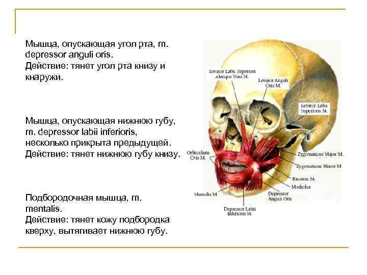 Мышца, опускающая угол рта, m. depressor anguli oris. Действие: тянет угол рта книзу и