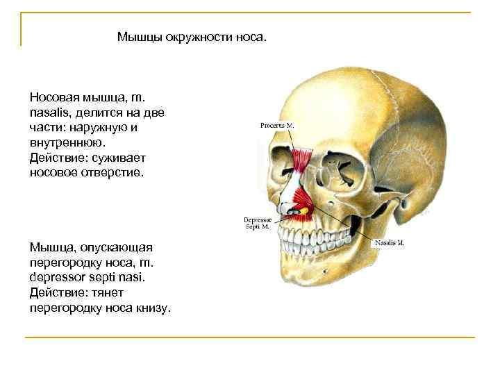 Мышцы окружности носа. Носовая мышца, m. nasalis, делится на две части: