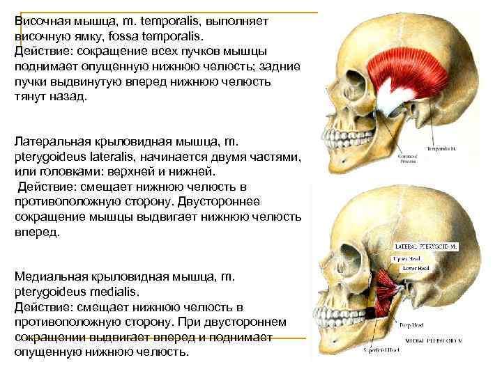 Височная мышца, m. temporalis, выполняет височную ямку, fossa temporalis. Действие: сокращение всех пучков мышцы