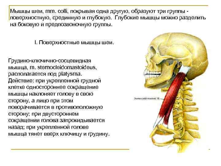 Мышцы шеи, mm. colli, покрывая одна другую, образуют три группы - поверхностную, срединную и
