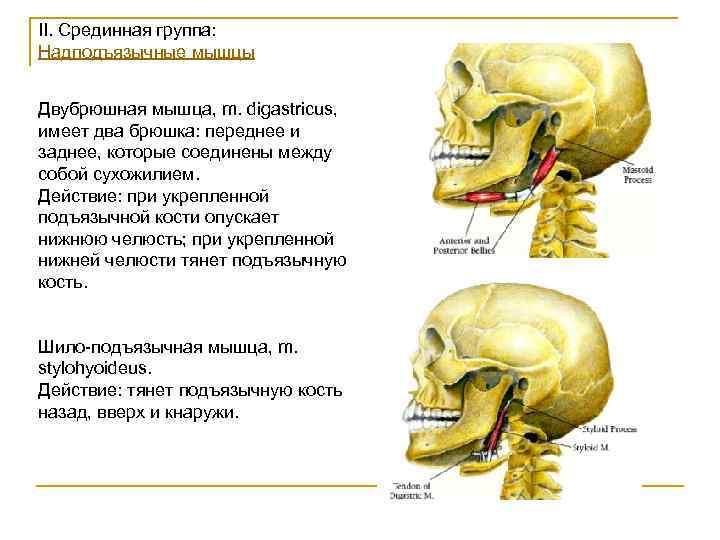 II. Срединная группа: Надподъязычные мышцы  Двубрюшная мышца, m. digastricus, имеет два брюшка: переднее