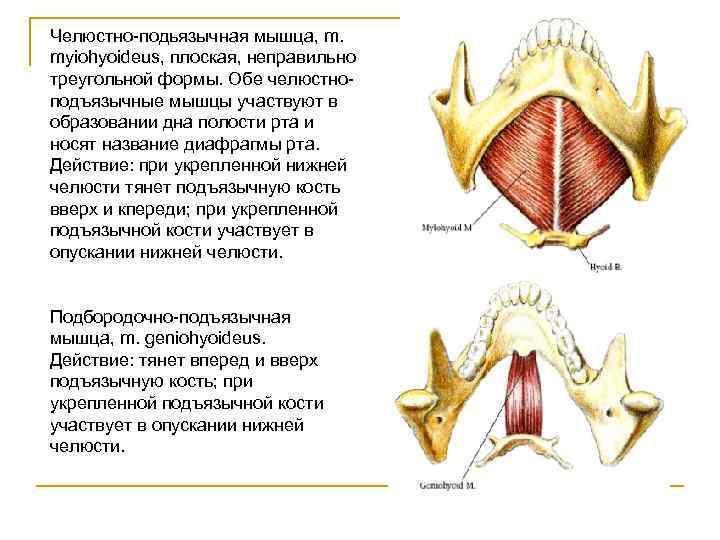Челюстно-подьязычная мышца, m. myiohyoideus, плоская, неправильно треугольной формы. Обе челюстно- подъязычные мышцы участвуют в