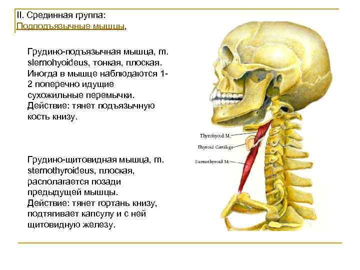 II. Срединная группа: Подподъязычные мышцы, Грудино-подъязычная мышца, m.  slernohyoideus, тонкая, плоская.  Иногда