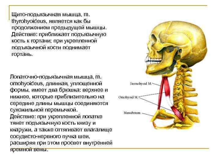 Щито-подьязычная мышца, m. thyrohyoideus, является как бы продолжением предыдущей мышцы. Действие: приближает подъязычную кость