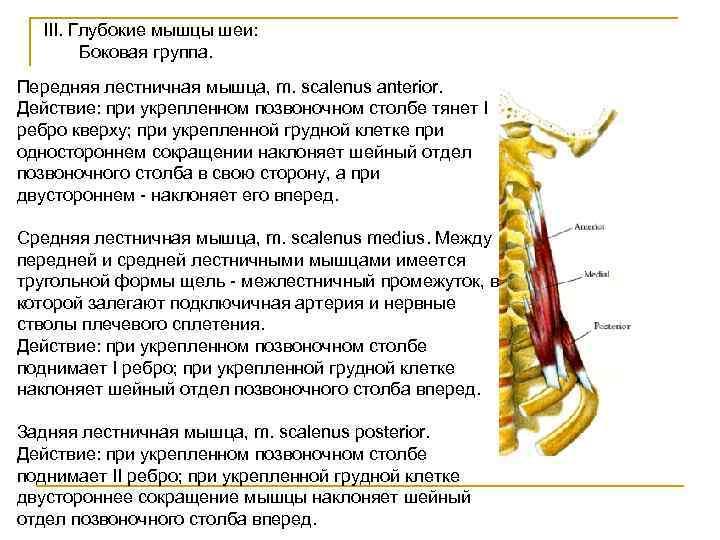 III. Глубокие мышцы шеи:   Боковая группа. Передняя лестничная мышца, m. scalenus
