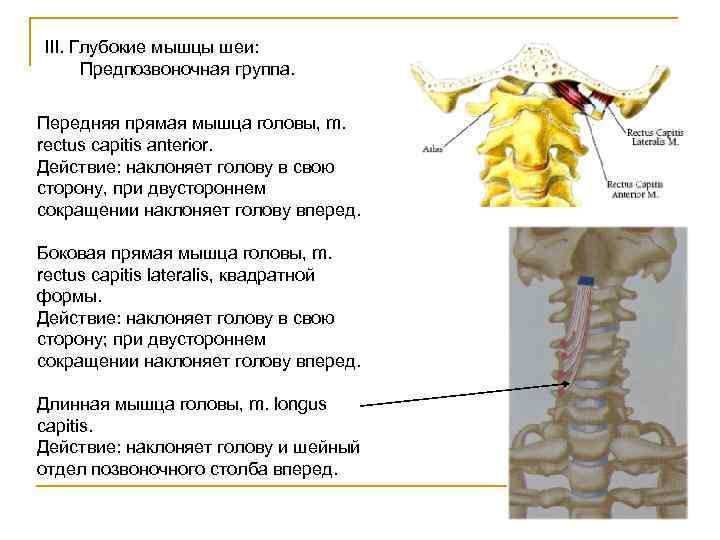 III. Глубокие мышцы шеи:  Предпозвоночная группа.  Передняя прямая мышца головы, m. rectus
