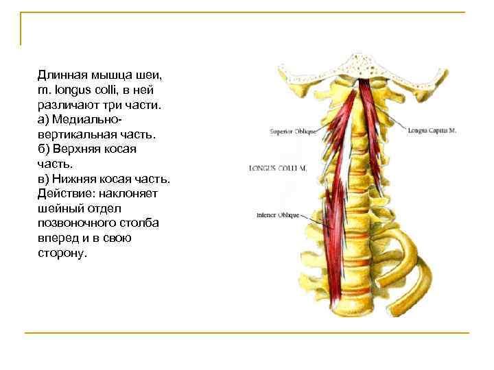 Длинная мышца шеи, m. longus colli, в ней различают три части. а) Медиально- вертикальная