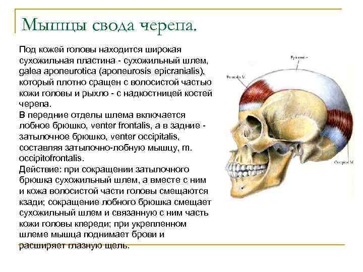 Мышцы свода черепа. Под кожей головы находится широкая сухожильная пластина - сухожильный шлем, galea