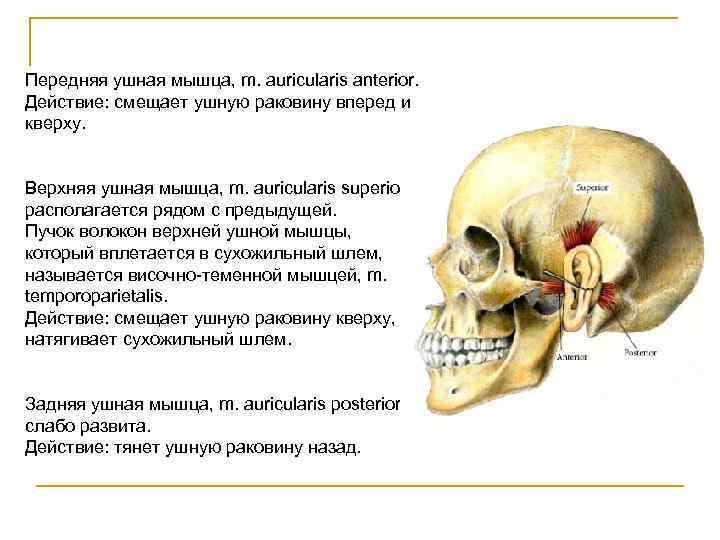 Передняя ушная мышца, m. auricularis anterior. Действие: смещает ушную раковину вперед и кверху.