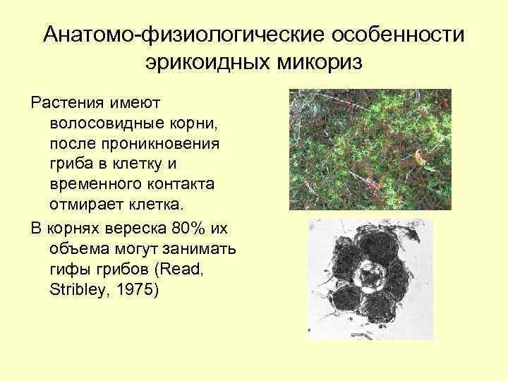 мордочка гифы грибы в отличие от корневых волосков последнее