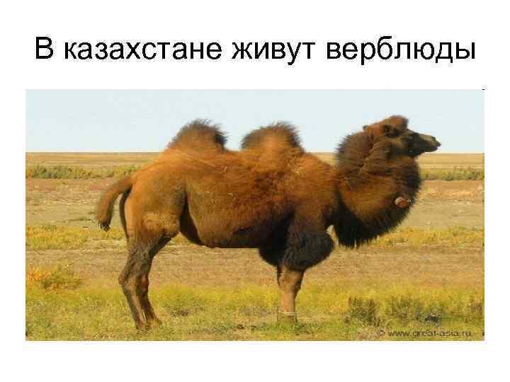 В казахстане живут верблюды