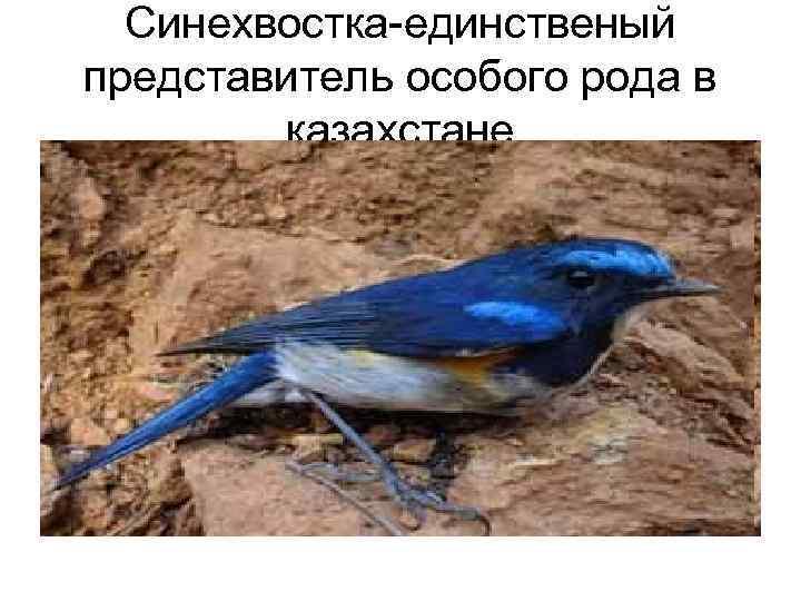 Синехвостка-единственый представитель особого рода в   казахстане