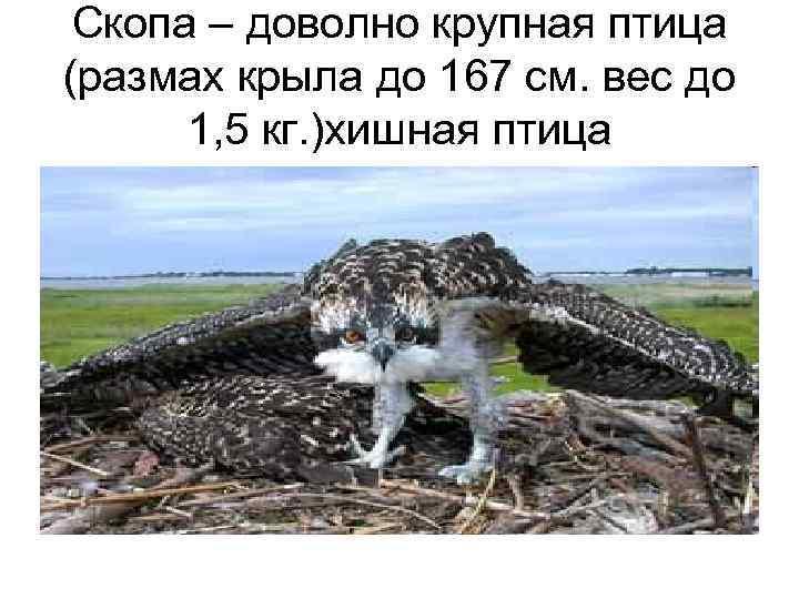 Скопа – доволно крупная птица (размах крыла до 167 см. вес до