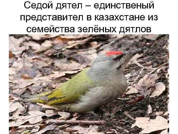 Седой дятел – единственый представител в казахстане из семейства зелёных дятлов
