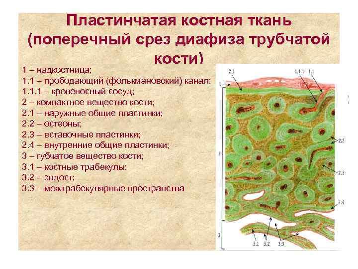 Пластинчатая костная ткань (поперечный срез диафиза трубчатой    кости) 1 –