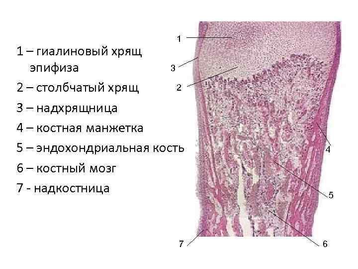 1 1 – гиалиновый хрящ эпифиза   3