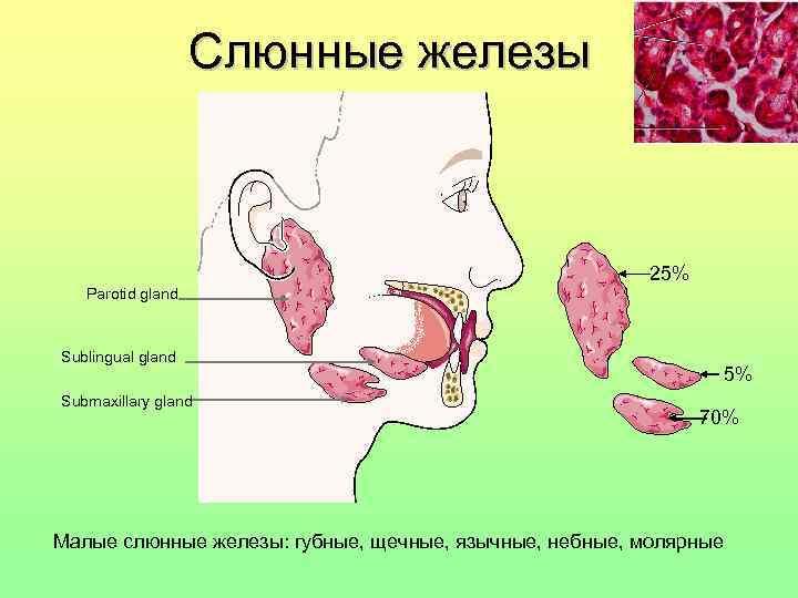 Слюнные железы     25%  Parotid gland