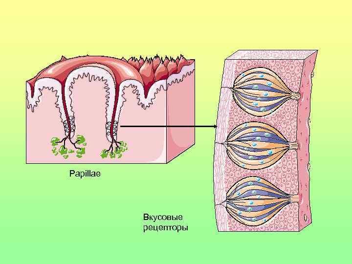 Papillae    Вкусовые   рецепторы