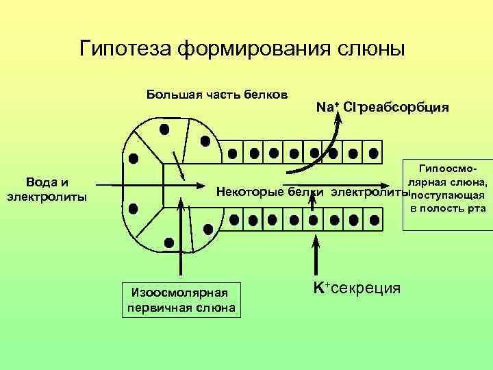 Гипотеза формирования слюны   Большая часть белков