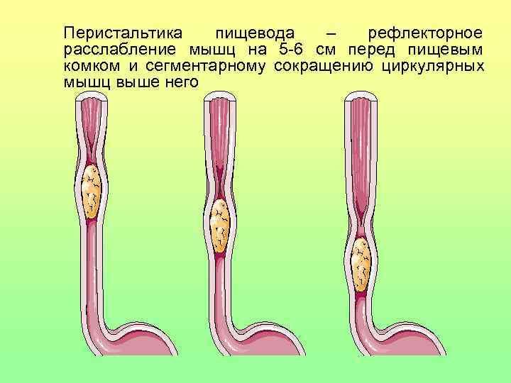 Перистальтика пищевода –  рефлекторное расслабление мышц на 5 -6 см перед пищевым комком