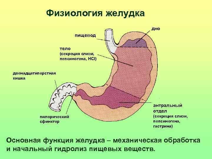 Физиология желудка    дно     пищевод